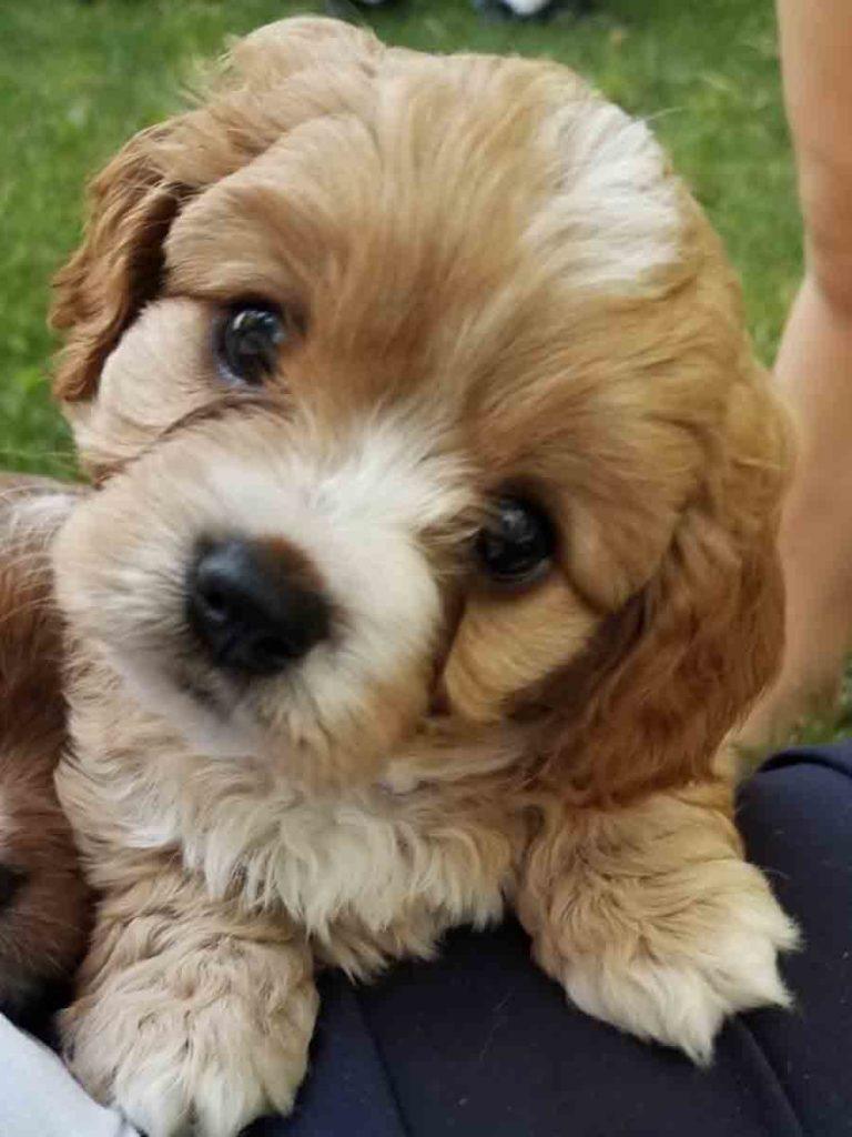 Cavapoos Teacup Doodle Dogs Teacup Goldendoodles Teacup Labradoodles Teacup Poodle Puppies For Sale