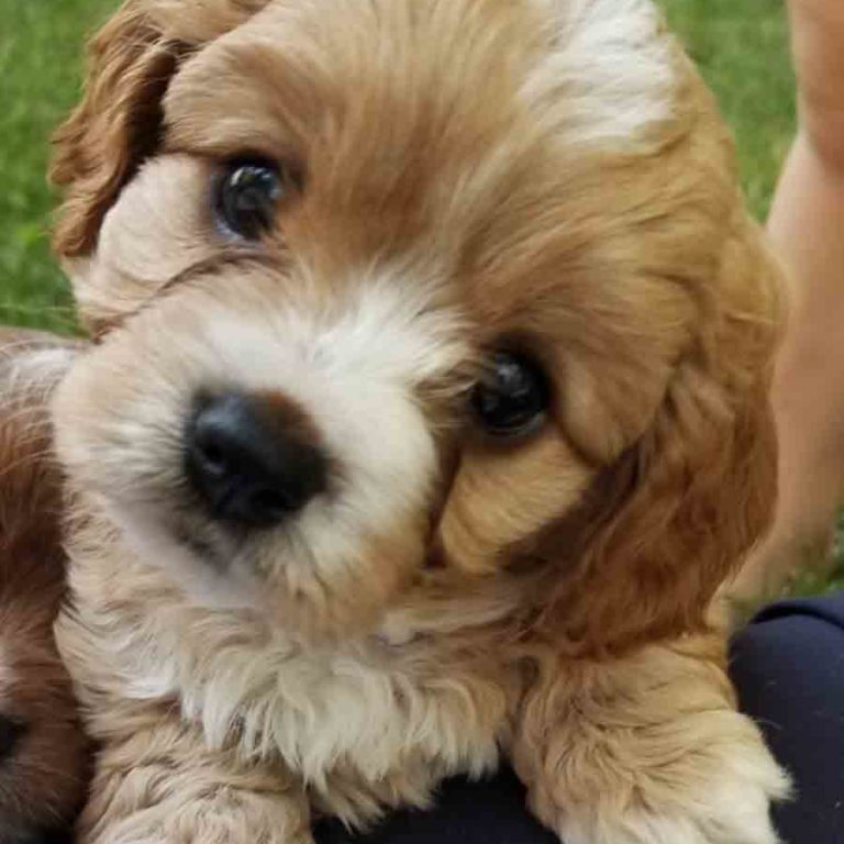 Teacup Doodle Dogs, Cavapoos, Precious Doodle Dogs, Cavapoo, Cavapoo puppies, Teacup Cavapoo, Cavadoodle, Cava poo, Cava poodle, Mini Cavapoo puppy, Mini Cavapoo, Cavapoo doodles, Cavapoos for sale near me, cavapoos for sale, Teacup Cavapoo, Teacup Cavapoo puppies, Cavapoo puppies for sale, Teacup Cavapoos, Teacup Cavapoos for sale, Teacup Cavapoo puppies for sale near me, tiny cavapoos for sale, tiny cavadoodles for sale near me, Cavapoo puppies for sale, cavapoo puppies for sale near me, Cavoodles for sale near me, Cavoodle puppies, Cavoodle, Cavoodles, Cavadoodles, Cavadoodles for sale, Cavoodle puppies for sale near me, toy cavoodle, Cavadoodle, Cavadoodle puppies, cavadoodle puppies for sale, cavadoodle puppies for sale near me, cavadoodles for sale, cavadoodles for sale near me, how big does a cavapoo get, how big do cavapoos get, what is a cavapoo, cavapoo puppies for sale near me, cavapoo breeders near me, cavoodle breeders near me, miniature cavoodle, cavapoo size, cavapoo puppies near me, teacup cavapoo, cava poo puppies, king charles spaniel, cavapoo breeders near me, cavapoo price, teacup cavapoo puppies for sale, teacup cavapoos for sale, teacup cavapoo puppies for sale near me, precious cavapoos, precious cavapoo puppies for sale near me, adorable cavapoo puppies for sale, precious cavapoos for sale, mini doodle dogs for sale near me, teacup doodle dogs for sale near me, red cavapoo, teacup cavapoos for sale near me AL, teacup cavapoos for sale near me AK, teacup cavapoos for sale near me AZ, teacup cavapoos for sale near me AR, teacup cavapoos for sale near me CA, teacup cavapoos for sale near me CO, teacup cavapoos for sale near me CT, teacup cavapoos for sale near me DE, teacup cavapoos for sale near me FL, teacup cavapoos for sale near me GA, teacup cavapoos for sale near me HI, teacup cavapoos for sale near me ID, teacup cavapoos for sale near me IL, teacup cavapoos for sale near me IN, teacup cavapoos for sale near me IA, teacup cavapoos for sale near me KS, teacup cavapoos for sale near me KY, teacup cavapoos for sale near me LA, teacup cavapoos for sale near me ME, teacup cavapoos for sale near me MD, teacup cavapoos for sale near me MA, teacup cavapoos for sale near me MI, teacup cavapoos for sale near me MN, teacup cavapoos for sale near me MS, teacup cavapoos for sale near me MO, teacup cavapoos for sale near me MT, teacup cavapoos for sale near me NE, teacup cavapoos for sale near me NV, teacup cavapoos for sale near me NH, teacup cavapoos for sale near me NJ, teacup cavapoos for sale near me NM, teacup cavapoos for sale near me NY, teacup cavapoos for sale near me NC, teacup cavapoos for sale near me ND, teacup cavapoos for sale near me OH, teacup cavapoos for sale near me OK, teacup cavapoos for sale near me OR, teacup cavapoos for sale near me PA, teacup cavapoos for sale near me RI, teacup cavapoos for sale near me SC, teacup cavapoos for sale near me SD, teacup cavapoos for sale near me TN, teacup cavapoos for sale near me TX, teacup cavapoos for sale near me UT, teacup cavapoos for sale near me VT, teacup cavapoos for sale near me VA, teacup cavapoos for sale near me WA, teacup cavapoos for sale near me WV, teacup cavapoos for sale near me WI, teacup cavapoos for sale near me WY, cavapoo puppies for sale Alabama, cavapoo puppies for sale Alaska, cavapoo puppies for sale Arizona, cavapoo puppies for sale Arkansas, cavapoo puppies for sale California, cavapoo puppies for sale Colorado, cavapoo puppies for sale Connecticut, cavapoo puppies for sale Delaware, cavapoo puppies for sale Florida, cavapoo puppies for sale Georgia, cavapoo puppies for sale Hawaii, cavapoo puppies for sale Idaho, cavapoo puppies for sale Illinois, cavapoo puppies for sale Indiana, cavapoo puppies for sale Iowa, cavapoo puppies for sale Kansas, cavapoo puppies for sale Kentucky, cavapoo puppies for sale Louisiana, cavapoo puppies for sale Maine, cavapoo puppies for sale Maryland, cavapoo puppies for sale Massachusetts, cavapoo puppies for sale Michigan, cavapoo puppies for sale Minnesota, cavapoo puppies for sale Mississippi, cavapoo puppies for sale Missouri, cavapoo puppies for sale Montana, cavapoo puppies for sale Nebraska, cavapoo puppies for sale Nevada, cavapoo puppies for sale New Hampshire, cavapoo puppies for sale New Jersey, cavapoo puppies for sale New Mexico, cavapoo puppies for sale New York, cavapoo puppies for sale North Carolina, cavapoo puppies for sale North Dakota, cavapoo puppies for sale Ohio, cavapoo puppies for sale Oklahoma, cavapoo puppies for sale Oregon, cavapoo puppies for sale Pennsylvania, cavapoo puppies for sale Rhode Island, cavapoo puppies for sale South Carolina, cavapoo puppies for sale South Dakota, cavapoo puppies for sale Tennessee, cavapoo puppies for sale Texas, cavapoo puppies for sale Utah, cavapoo puppies for sale Vermont, cavapoo puppies for sale Virginia, cavapoo puppies for sale Washington, cavapoo puppies for sale West Virginia, cavapoo puppies for sale Wisconsin, cavapoo puppies for sale Wyoming, teacup cavapoo puppies Alabama, teacup cavapoo puppies Alaska, teacup cavapoo puppies Arizona, teacup cavapoo puppies Arkansas, teacup cavapoo puppies California, teacup cavapoo puppies Colorado, teacup cavapoo puppies Connecticut, teacup cavapoo puppies Delaware, teacup cavapoo puppies Florida, teacup cavapoo puppies Georgia, teacup cavapoo puppies Hawaii, teacup cavapoo puppies Idaho, teacup cavapoo puppies Illinois, teacup cavapoo puppies Indiana, teacup cavapoo puppies Iowa, teacup cavapoo puppies Kansas, teacup cavapoo puppies Kentucky, teacup cavapoo puppies Louisiana, teacup cavapoo puppies Maine, teacup cavapoo puppies Maryland, teacup cavapoo puppies Massachusetts, teacup cavapoo puppies Michigan, teacup cavapoo puppies Minnesota, teacup cavapoo puppies Mississippi, teacup cavapoo puppies Missouri, teacup cavapoo puppies Montana, teacup cavapoo puppies Nebraska, teacup cavapoo puppies Nevada, teacup cavapoo puppies New Hampshire, teacup cavapoo puppies New Jersey, teacup cavapoo puppies New Mexico, teacup cavapoo puppies New York, teacup cavapoo puppies North Carolina, teacup cavapoo puppies North Dakota, teacup cavapoo puppies Ohio, teacup cavapoo puppies Oklahoma, teacup cavapoo puppies Oregon, teacup cavapoo puppies Pennsylvania, teacup cavapoo puppies Rhode Island, teacup cavapoo puppies South Carolina, teacup cavapoo puppies South Dakota, teacup cavapoo puppies Tennessee, teacup cavapoo puppies Texas, teacup cavapoo puppies Utah, teacup cavapoo puppies Vermont, teacup cavapoo puppies Virginia, teacup cavapoo puppies Washington, teacup cavapoo puppies West Virginia, teacup cavapoo puppies Wisconsin, teacup cavapoo puppies Wyoming, teacup cavapoo puppies for sale Alabama, teacup cavapoo puppies for sale Alaska, teacup cavapoo puppies for sale Arizona, teacup cavapoo puppies for sale Arkansas, teacup cavapoo puppies for sale California, teacup cavapoo puppies for sale Colorado, teacup cavapoo puppies for sale Connecticut, teacup cavapoo puppies for sale Delaware, teacup cavapoo puppies for sale Florida, teacup cavapoo puppies for sale Georgia, teacup cavapoo puppies for sale Hawaii, teacup cavapoo puppies for sale Idaho, teacup cavapoo puppies for sale Illinois, teacup cavapoo puppies for sale Indiana, teacup cavapoo puppies for sale Iowa, teacup cavapoo puppies for sale Kansas, teacup cavapoo puppies for sale Kentucky, teacup cavapoo puppies for sale Louisiana, teacup cavapoo puppies for sale Maine, teacup cavapoo puppies for sale Maryland, teacup cavapoo puppies for sale Massachusetts, teacup cavapoo puppies for sale Michigan, teacup cavapoo puppies for sale Minnesota, teacup cavapoo puppies for sale Mississippi, teacup cavapoo puppies for sale Missouri, teacup cavapoo puppies for sale Montana, teacup cavapoo puppies for sale Nebraska, teacup cavapoo puppies for sale Nevada, teacup cavapoo puppies for sale New Hampshire, teacup cavapoo puppies for sale New Jersey, teacup cavapoo puppies for sale New Mexico, teacup cavapoo puppies for sale New York, teacup cavapoo puppies for sale North Carolina, teacup cavapoo puppies for sale North Dakota, teacup cavapoo puppies for sale Ohio, teacup cavapoo puppies for sale Oklahoma, teacup cavapoo puppies for sale Oregon, teacup cavapoo puppies for sale Pennsylvania, teacup cavapoo puppies for sale Rhode Island, teacup cavapoo puppies for sale South Carolina, teacup cavapoo puppies for sale South Dakota, teacup cavapoo puppies for sale Tennessee, teacup cavapoo puppies for sale Texas, teacup cavapoo puppies for sale Utah, teacup cavapoo puppies for sale Vermont, teacup cavapoo puppies for sale Virginia, teacup cavapoo puppies for sale Washington, teacup cavapoo puppies for sale West Virginia, teacup cavapoo puppies for sale Wisconsin, teacup cavapoo puppies for sale Wyoming, teacup cavapoo AL, teacup cavapoo AK, teacup cavapoo AZ, teacup cavapoo AR, teacup cavapoo CA, teacup cavapoo CO, teacup cavapoo CT, teacup cavapoo DE, teacup cavapoo FL, teacup cavapoo GA, teacup cavapoo HI, teacup cavapoo ID, teacup cavapoo IL, teacup cavapoo IN, teacup cavapoo IA, teacup cavapoo KS, teacup cavapoo KY, teacup cavapoo LA, teacup cavapoo ME, teacup cavapoo MD, teacup cavapoo MA, teacup cavapoo MI, teacup cavapoo MN, teacup cavapoo MS, teacup cavapoo MO, teacup cavapoo MT, teacup cavapoo NE, teacup cavapoo NV, teacup cavapoo NH, teacup cavapoo NJ, teacup cavapoo NM, teacup cavapoo NY, teacup cavapoo NC, teacup cavapoo ND, teacup cavapoo OH, teacup cavapoo OK, teacup cavapoo OR, teacup cavapoo PA, teacup cavapoo RI, teacup cavapoo SC, teacup cavapoo SD, teacup cavapoo TN, teacup cavapoo TX, teacup cavapoo UT, teacup cavapoo VT, teacup cavapoo VA, teacup cavapoo WA, teacup cavapoo WV, teacup cavapoo WI, teacup cavapoo WY, teacup cavadoodle puppies Alabama, teacup cavadoodle puppies Alaska, teacup cavadoodle puppies Arizona, teacup cavadoodle puppies Arkansas, teacup cavadoodle puppies California, teacup cavadoodle puppies Colorado, teacup cavadoodle puppies Connecticut, teacup cavadoodle puppies Delaware, teacup cavadoodle puppies Florida, teacup cavadoodle puppies Georgia, teacup cavadoodle puppies Hawaii, teacup cavadoodle puppies Idaho, teacup cavadoodle puppies Illinois, teacup cavadoodle puppies Indiana, teacup cavadoodle puppies Iowa, teacup cavadoodle puppies Kansas, teacup cavadoodle puppies Kentucky, teacup cavadoodle puppies Louisiana, teacup cavadoodle puppies Maine, teacup cavadoodle puppies Maryland, teacup cavadoodle puppies Massachusetts, teacup cavadoodle puppies Michigan, teacup cavadoodle puppies Minnesota, teacup cavadoodle puppies Mississippi, teacup cavadoodle puppies Missouri, teacup cavadoodle puppies Montana, teacup cavadoodle puppies Nebraska, teacup cavadoodle puppies Nevada, teacup cavadoodle puppies New Hampshire, teacup cavadoodle puppies New Jersey, teacup cavadoodle puppies New Mexico, teacup cavadoodle puppies New York, teacup cavadoodle puppies North Carolina, teacup cavadoodle puppies North Dakota, teacup cavadoodle puppies Ohio, teacup cavadoodle puppies Oklahoma, teacup cavadoodle puppies Oregon, teacup cavadoodle puppies Pennsylvania, teacup cavadoodle puppies Rhode Island, teacup cavadoodle puppies South Carolina, teacup cavadoodle puppies South Dakota, teacup cavadoodle puppies Tennessee, teacup cavadoodle puppies Texas, teacup cavadoodle puppies Utah, teacup cavadoodle puppies Vermont, teacup cavadoodle puppies Virginia, teacup cavadoodle puppies Washington, teacup cavadoodle puppies West Virginia, teacup cavadoodle puppies Wisconsin, teacup cavadoodle puppies Wyoming, cavadoodle puppies for sale Alabama, cavadoodle puppies for sale Alaska, cavadoodle puppies for sale Arizona, cavadoodle puppies for sale Arkansas, cavadoodle puppies for sale California, cavadoodle puppies for sale Colorado, cavadoodle puppies for sale Connecticut, cavadoodle puppies for sale Delaware, cavadoodle puppies for sale Florida, cavadoodle puppies for sale Georgia, cavadoodle puppies for sale Hawaii, cavadoodle puppies for sale Idaho, cavadoodle puppies for sale Illinois, cavadoodle puppies for sale Indiana, cavadoodle puppies for sale Iowa, cavadoodle puppies for sale Kansas, cavadoodle puppies for sale Kentucky, cavadoodle puppies for sale Louisiana, cavadoodle puppies for sale Maine, cavadoodle puppies for sale Maryland, cavadoodle puppies for sale Massachusetts, cavadoodle puppies for sale Michigan, cavadoodle puppies for sale Minnesota, cavadoodle puppies for sale Mississippi, cavadoodle puppies for sale Missouri, cavadoodle puppies for sale Montana, cavadoodle puppies for sale Nebraska, cavadoodle puppies for sale Nevada, cavadoodle puppies for sale New Hampshire, cavadoodle puppies for sale New Jersey, cavadoodle puppies for sale New Mexico, cavadoodle puppies for sale New York, cavadoodle puppies for sale North Carolina, cavadoodle puppies for sale North Dakota, cavadoodle puppies for sale Ohio, cavadoodle puppies for sale Oklahoma, cavadoodle puppies for sale Oregon, cavadoodle puppies for sale Pennsylvania, cavadoodle puppies for sale Rhode Island, cavadoodle puppies for sale South Carolina, cavadoodle puppies for sale South Dakota, cavadoodle puppies for sale Tennessee, cavadoodle puppies for sale Texas, cavadoodle puppies for sale Utah, cavadoodle puppies for sale Vermont, cavadoodle puppies for sale Virginia, cavadoodle puppies for sale Washington, cavadoodle puppies for sale West Virginia, cavadoodle puppies for sale Wisconsin, cavadoodle puppies for sale Wyoming, cavapoo breeders Alabama, cavapoo breeders Alaska, cavapoo breeders Arizona, cavapoo breeders Arkansas, cavapoo breeders California, cavapoo breeders Colorado, cavapoo breeders Connecticut, cavapoo breeders Delaware, cavapoo breeders Florida, cavapoo breeders Georgia, cavapoo breeders Hawaii, cavapoo breeders Idaho, cavapoo breeders Illinois, cavapoo breeders Indiana, cavapoo breeders Iowa, cavapoo breeders Kansas, cavapoo breeders Kentucky, cavapoo breeders Louisiana, cavapoo breeders Maine, cavapoo breeders Maryland, cavapoo breeders Massachusetts, cavapoo breeders Michigan, cavapoo breeders Minnesota, cavapoo breeders Mississippi, cavapoo breeders Missouri, cavapoo breeders Montana, cavapoo breeders Nebraska, cavapoo breeders Nevada, cavapoo breeders New Hampshire, cavapoo breeders New Jersey, cavapoo breeders New Mexico, cavapoo breeders New York, cavapoo breeders North Carolina, cavapoo breeders North Dakota, cavapoo breeders Ohio, cavapoo breeders Oklahoma, cavapoo breeders Oregon, cavapoo breeders Pennsylvania, cavapoo breeders Rhode Island, cavapoo breeders South Carolina, cavapoo breeders South Dakota, cavapoo breeders Tennessee, cavapoo breeders Texas, cavapoo breeders Utah, cavapoo breeders Vermont, cavapoo breeders Virginia, cavapoo breeders Washington, cavapoo breeders West Virginia, cavapoo breeders Wisconsin, cavapoo breeders Wyoming, cavapoo Alabama, cavapoo Alaska, cavapoo Arizona, cavapoo Arkansas, cavapoo California, cavapoo Colorado, cavapoo Connecticut, cavapoo Delaware, cavapoo Florida, cavapoo Georgia, cavapoo Hawaii, cavapoo Idaho, cavapoo Illinois, cavapoo Indiana, cavapoo Iowa, cavapoo Kansas, cavapoo Kentucky, cavapoo Louisiana, cavapoo Maine, cavapoo Maryland, cavapoo Massachusetts, cavapoo Michigan, cavapoo Minnesota, cavapoo Mississippi, cavapoo Missouri, cavapoo Montana, cavapoo Nebraska, cavapoo Nevada, cavapoo New Hampshire, cavapoo New Jersey, cavapoo New Mexico, cavapoo New York, cavapoo North Carolina, cavapoo North Dakota, cavapoo Ohio, cavapoo Oklahoma, cavapoo Oregon, cavapoo Pennsylvania, cavapoo Rhode Island, cavapoo South Carolina, cavapoo South Dakota, cavapoo Tennessee, cavapoo Texas, cavapoo Utah, cavapoo Vermont, cavapoo Virginia, cavapoo Washington, cavapoo West Virginia, cavapoo Wisconsin, cavapoo Wyoming, cavapoo AL, cavapoo AK, cavapoo AZ, cavapoo AR, cavapoo CA, cavapoo CO, cavapoo CT, cavapoo DE, cavapoo FL, cavapoo GA, cavapoo HI, cavapoo ID, cavapoo IL, cavapoo IN, cavapoo IA, cavapoo KS, cavapoo KY, cavapoo LA, cavapoo ME, cavapoo MD, cavapoo MA, cavapoo MI, cavapoo MN, cavapoo MS, cavapoo MO, cavapoo MT, cavapoo NE, cavapoo NV, cavapoo NH, cavapoo NJ, cavapoo NM, cavapoo NY, cavapoo NC, cavapoo ND, cavapoo OH, cavapoo OK, cavapoo OR, cavapoo PA, cavapoo RI, cavapoo SC, cavapoo SD, cavapoo TN, cavapoo TX, cavapoo UT, cavapoo VT, cavapoo VA, cavapoo WA, cavapoo WV, cavapoo WI, cavapoo WY, cavapoo puppies Alabama, cavapoo puppies Alaska, cavapoo puppies Arizona, cavapoo puppies Arkansas, cavapoo puppies California, cavapoo puppies Colorado, cavapoo puppies Connecticut, cavapoo puppies Delaware, cavapoo puppies Florida, cavapoo puppies Georgia, cavapoo puppies Hawaii, cavapoo puppies Idaho, cavapoo puppies Illinois, cavapoo puppies Indiana, cavapoo puppies Iowa, cavapoo puppies Kansas, cavapoo puppies Kentucky, cavapoo puppies Louisiana, cavapoo puppies Maine, cavapoo puppies Maryland, cavapoo puppies Massachusetts, cavapoo puppies Michigan, cavapoo puppies Minnesota, cavapoo puppies Mississippi, cavapoo puppies Missouri, cavapoo puppies Montana, cavapoo puppies Nebraska, cavapoo puppies Nevada, cavapoo puppies New Hampshire, cavapoo puppies New Jersey, cavapoo puppies New Mexico, cavapoo puppies New York, cavapoo puppies North Carolina, cavapoo puppies North Dakota, cavapoo puppies Ohio, cavapoo puppies Oklahoma, cavapoo puppies Oregon, cavapoo puppies Pennsylvania, cavapoo puppies Rhode Island, cavapoo puppies South Carolina, cavapoo puppies South Dakota, cavapoo puppies Tennessee, cavapoo puppies Texas, cavapoo puppies Utah, cavapoo puppies Vermont, cavapoo puppies Virginia, cavapoo puppies Washington, cavapoo puppies West Virginia, cavapoo puppies Wisconsin, cavapoo puppies Wyoming,