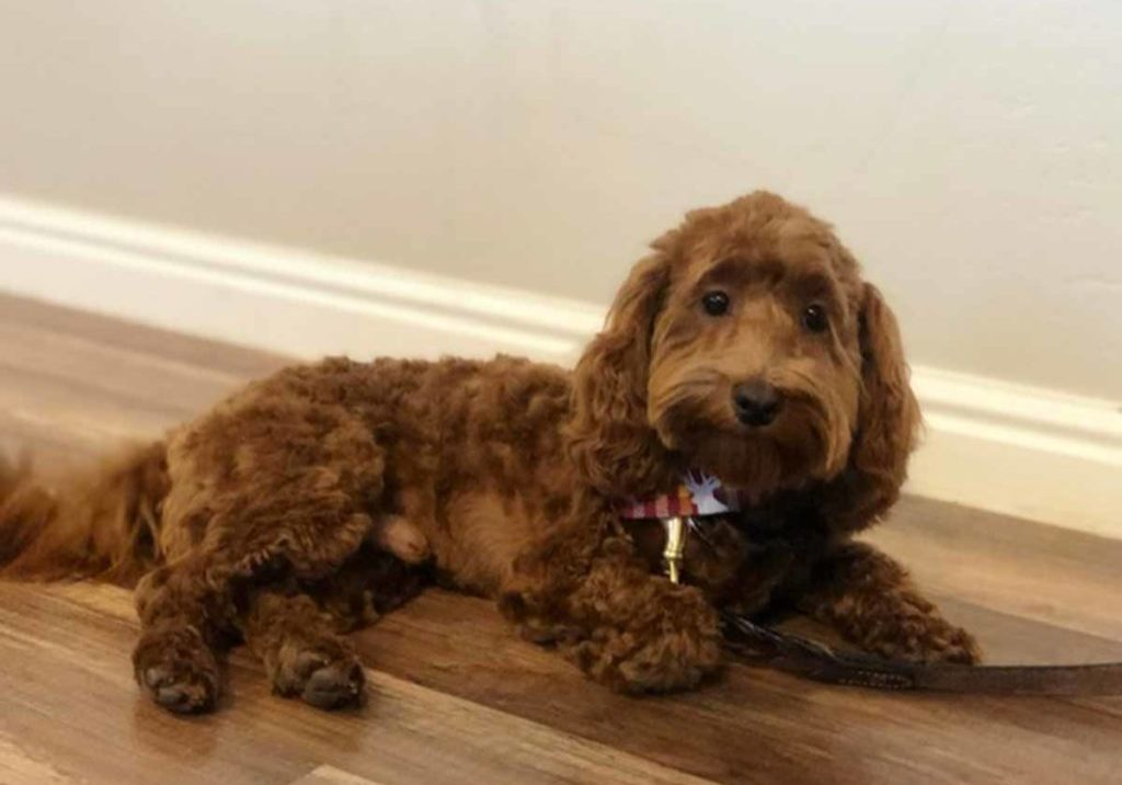 Teacup Doodle Dogs, Cavapoo, Cavapoo puppies, Teacup Cavapoo, Cavadoodle, Cava poo, Cava poodle, Mini Cavapoo puppy, Mini Cavapoo, Cavapoos, Cavapoos for sale near me, cavapoos for sale, tiny cavapoos for sale, tiny cavadoodles for sale near me, Cavapoo puppies for sale, cavapoo puppies for sale near me, Cavoodles for sale near me, Cavoodle puppies, Cavoodle, toy cavoodle, Cavadoodle, Cavadoodle puppies, cavadoodle puppies for sale, cavadoodle puppies for sale near me, cavadoodles for sale, cavadoodles for sale near me, how big does a cavapoo get, how big do cavapoos get, what is a cavapoo, cavapoo puppies for sale near me, cavapoo breeders near me, cavoodle breeders near me, miniature cavoodle, cavapoo size, cavapoo puppies near me, teacup cavapoo, cava poo puppies, king charles spaniel, cavapoo breeders near me, cavapoo price, teacup cavapoo puppies for sale, teacup cavapoos for sale, teacup cavapoo puppies for sale near me, precious cavapoos, precious cavapoo puppies for sale near me, adorable cavapoo puppies for sale, precious cavapoos for sale, mini doodle dogs for sale near me, teacup doodle dogs for sale near me, red cavapoo, teacup cavapoo puppies Alabama, teacup cavapoo puppies Alaska, teacup cavapoo puppies Arizona, teacup cavapoo puppies Arkansas, teacup cavapoo puppies California, teacup cavapoo puppies Colorado, teacup cavapoo puppies Connecticut, teacup cavapoo puppies Delaware, teacup cavapoo puppies Florida, teacup cavapoo puppies Georgia, teacup cavapoo puppies Hawaii, teacup cavapoo puppies Idaho, teacup cavapoo puppies Illinois, teacup cavapoo puppies Indiana, teacup cavapoo puppies Iowa, teacup cavapoo puppies Kansas, teacup cavapoo puppies Kentucky, teacup cavapoo puppies Louisiana, teacup cavapoo puppies Maine, teacup cavapoo puppies Maryland, teacup cavapoo puppies Massachusetts, teacup cavapoo puppies Michigan, teacup cavapoo puppies Minnesota, teacup cavapoo puppies Mississippi, teacup cavapoo puppies Missouri, teacup cavapoo puppies Montana, teacup cavapoo puppies Nebraska, teacup cavapoo puppies Nevada, teacup cavapoo puppies New Hampshire, teacup cavapoo puppies New Jersey, teacup cavapoo puppies New Mexico, teacup cavapoo puppies New York, teacup cavapoo puppies North Carolina, teacup cavapoo puppies North Dakota, teacup cavapoo puppies Ohio, teacup cavapoo puppies Oklahoma, teacup cavapoo puppies Oregon, teacup cavapoo puppies Pennsylvania, teacup cavapoo puppies Rhode Island, teacup cavapoo puppies South Carolina, teacup cavapoo puppies South Dakota, teacup cavapoo puppies Tennessee, teacup cavapoo puppies Texas, teacup cavapoo puppies Utah, teacup cavapoo puppies Vermont, teacup cavapoo puppies Virginia, teacup cavapoo puppies Washington, teacup cavapoo puppies West Virginia, teacup cavapoo puppies Wisconsin, teacup cavapoo puppies Wyoming, teacup cavapoo AL, teacup cavapoo AK, teacup cavapoo AZ, teacup cavapoo AR, teacup cavapoo CA, teacup cavapoo CO, teacup cavapoo CT, teacup cavapoo DE, teacup cavapoo FL, teacup cavapoo GA, teacup cavapoo HI, teacup cavapoo ID, teacup cavapoo IL, teacup cavapoo IN, teacup cavapoo IA, teacup cavapoo KS, teacup cavapoo KY, teacup cavapoo LA, teacup cavapoo ME, teacup cavapoo MD, teacup cavapoo MA, teacup cavapoo MI, teacup cavapoo MN, teacup cavapoo MS, teacup cavapoo MO, teacup cavapoo MT, teacup cavapoo NE, teacup cavapoo NV, teacup cavapoo NH, teacup cavapoo NJ, teacup cavapoo NM, teacup cavapoo NY, teacup cavapoo NC, teacup cavapoo ND, teacup cavapoo OH, teacup cavapoo OK, teacup cavapoo OR, teacup cavapoo PA, teacup cavapoo RI, teacup cavapoo SC, teacup cavapoo SD, teacup cavapoo TN, teacup cavapoo TX, teacup cavapoo UT, teacup cavapoo VT, teacup cavapoo VA, teacup cavapoo WA, teacup cavapoo WV, teacup cavapoo WI, teacup cavapoo WY, teacup cavadoodle puppies Alabama, teacup cavadoodle puppies Alaska, teacup cavadoodle puppies Arizona, teacup cavadoodle puppies Arkansas, teacup cavadoodle puppies California, teacup cavadoodle puppies Colorado, teacup cavadoodle puppies Connecticut, teacup cavadoodle puppies Delaware, teacup cavadoodle puppies Florida, teacup cavadoodle puppies Georgia, teacup cavadoodle puppies Hawaii, teacup cavadoodle puppies Idaho, teacup cavadoodle puppies Illinois, teacup cavadoodle puppies Indiana, teacup cavadoodle puppies Iowa, teacup cavadoodle puppies Kansas, teacup cavadoodle puppies Kentucky, teacup cavadoodle puppies Louisiana, teacup cavadoodle puppies Maine, teacup cavadoodle puppies Maryland, teacup cavadoodle puppies Massachusetts, teacup cavadoodle puppies Michigan, teacup cavadoodle puppies Minnesota, teacup cavadoodle puppies Mississippi, teacup cavadoodle puppies Missouri, teacup cavadoodle puppies Montana, teacup cavadoodle puppies Nebraska, teacup cavadoodle puppies Nevada, teacup cavadoodle puppies New Hampshire, teacup cavadoodle puppies New Jersey, teacup cavadoodle puppies New Mexico, teacup cavadoodle puppies New York, teacup cavadoodle puppies North Carolina, teacup cavadoodle puppies North Dakota, teacup cavadoodle puppies Ohio, teacup cavadoodle puppies Oklahoma, teacup cavadoodle puppies Oregon, teacup cavadoodle puppies Pennsylvania, teacup cavadoodle puppies Rhode Island, teacup cavadoodle puppies South Carolina, teacup cavadoodle puppies South Dakota, teacup cavadoodle puppies Tennessee, teacup cavadoodle puppies Texas, teacup cavadoodle puppies Utah, teacup cavadoodle puppies Vermont, teacup cavadoodle puppies Virginia, teacup cavadoodle puppies Washington, teacup cavadoodle puppies West Virginia, teacup cavadoodle puppies Wisconsin, teacup cavadoodle puppies Wyoming, cavadoodle puppies for sale Alabama, cavadoodle puppies for sale Alaska, cavadoodle puppies for sale Arizona, cavadoodle puppies for sale Arkansas, cavadoodle puppies for sale California, cavadoodle puppies for sale Colorado, cavadoodle puppies for sale Connecticut, cavadoodle puppies for sale Delaware, cavadoodle puppies for sale Florida, cavadoodle puppies for sale Georgia, cavadoodle puppies for sale Hawaii, cavadoodle puppies for sale Idaho, cavadoodle puppies for sale Illinois, cavadoodle puppies for sale Indiana, cavadoodle puppies for sale Iowa, cavadoodle puppies for sale Kansas, cavadoodle puppies for sale Kentucky, cavadoodle puppies for sale Louisiana, cavadoodle puppies for sale Maine, cavadoodle puppies for sale Maryland, cavadoodle puppies for sale Massachusetts, cavadoodle puppies for sale Michigan, cavadoodle puppies for sale Minnesota, cavadoodle puppies for sale Mississippi, cavadoodle puppies for sale Missouri, cavadoodle puppies for sale Montana, cavadoodle puppies for sale Nebraska, cavadoodle puppies for sale Nevada, cavadoodle puppies for sale New Hampshire, cavadoodle puppies for sale New Jersey, cavadoodle puppies for sale New Mexico, cavadoodle puppies for sale New York, cavadoodle puppies for sale North Carolina, cavadoodle puppies for sale North Dakota, cavadoodle puppies for sale Ohio, cavadoodle puppies for sale Oklahoma, cavadoodle puppies for sale Oregon, cavadoodle puppies for sale Pennsylvania, cavadoodle puppies for sale Rhode Island, cavadoodle puppies for sale South Carolina, cavadoodle puppies for sale South Dakota, cavadoodle puppies for sale Tennessee, cavadoodle puppies for sale Texas, cavadoodle puppies for sale Utah, cavadoodle puppies for sale Vermont, cavadoodle puppies for sale Virginia, cavadoodle puppies for sale Washington, cavadoodle puppies for sale West Virginia, cavadoodle puppies for sale Wisconsin, cavadoodle puppies for sale Wyoming, cavapoo breeders Alabama, cavapoo breeders Alaska, cavapoo breeders Arizona, cavapoo breeders Arkansas, cavapoo breeders California, cavapoo breeders Colorado, cavapoo breeders Connecticut, cavapoo breeders Delaware, cavapoo breeders Florida, cavapoo breeders Georgia, cavapoo breeders Hawaii, cavapoo breeders Idaho, cavapoo breeders Illinois, cavapoo breeders Indiana, cavapoo breeders Iowa, cavapoo breeders Kansas, cavapoo breeders Kentucky, cavapoo breeders Louisiana, cavapoo breeders Maine, cavapoo breeders Maryland, cavapoo breeders Massachusetts, cavapoo breeders Michigan, cavapoo breeders Minnesota, cavapoo breeders Mississippi, cavapoo breeders Missouri, cavapoo breeders Montana, cavapoo breeders Nebraska, cavapoo breeders Nevada, cavapoo breeders New Hampshire, cavapoo breeders New Jersey, cavapoo breeders New Mexico, cavapoo breeders New York, cavapoo breeders North Carolina, cavapoo breeders North Dakota, cavapoo breeders Ohio, cavapoo breeders Oklahoma, cavapoo breeders Oregon, cavapoo breeders Pennsylvania, cavapoo breeders Rhode Island, cavapoo breeders South Carolina, cavapoo breeders South Dakota, cavapoo breeders Tennessee, cavapoo breeders Texas, cavapoo breeders Utah, cavapoo breeders Vermont, cavapoo breeders Virginia, cavapoo breeders Washington, cavapoo breeders West Virginia, cavapoo breeders Wisconsin, cavapoo breeders Wyoming, cavapoo Alabama, cavapoo Alaska, cavapoo Arizona, cavapoo Arkansas, cavapoo California, cavapoo Colorado, cavapoo Connecticut, cavapoo Delaware, cavapoo Florida, cavapoo Georgia, cavapoo Hawaii, cavapoo Idaho, cavapoo Illinois, cavapoo Indiana, cavapoo Iowa, cavapoo Kansas, cavapoo Kentucky, cavapoo Louisiana, cavapoo Maine, cavapoo Maryland, cavapoo Massachusetts, cavapoo Michigan, cavapoo Minnesota, cavapoo Mississippi, cavapoo Missouri, cavapoo Montana, cavapoo Nebraska, cavapoo Nevada, cavapoo New Hampshire, cavapoo New Jersey, cavapoo New Mexico, cavapoo New York, cavapoo North Carolina, cavapoo North Dakota, cavapoo Ohio, cavapoo Oklahoma, cavapoo Oregon, cavapoo Pennsylvania, cavapoo Rhode Island, cavapoo South Carolina, cavapoo South Dakota, cavapoo Tennessee, cavapoo Texas, cavapoo Utah, cavapoo Vermont, cavapoo Virginia, cavapoo Washington, cavapoo West Virginia, cavapoo Wisconsin, cavapoo Wyoming, cavapoo AL, cavapoo AK, cavapoo AZ, cavapoo AR, cavapoo CA, cavapoo CO, cavapoo CT, cavapoo DE, cavapoo FL, cavapoo GA, cavapoo HI, cavapoo ID, cavapoo IL, cavapoo IN, cavapoo IA, cavapoo KS, cavapoo KY, cavapoo LA, cavapoo ME, cavapoo MD, cavapoo MA, cavapoo MI, cavapoo MN, cavapoo MS, cavapoo MO, cavapoo MT, cavapoo NE, cavapoo NV, cavapoo NH, cavapoo NJ, cavapoo NM, cavapoo NY, cavapoo NC, cavapoo ND, cavapoo OH, cavapoo OK, cavapoo OR, cavapoo PA, cavapoo RI, cavapoo SC, cavapoo SD, cavapoo TN, cavapoo TX, cavapoo UT, cavapoo VT, cavapoo VA, cavapoo WA, cavapoo WV, cavapoo WI, cavapoo WY, cavapoo puppies Alabama, cavapoo puppies Alaska, cavapoo puppies Arizona, cavapoo puppies Arkansas, cavapoo puppies California, cavapoo puppies Colorado, cavapoo puppies Connecticut, cavapoo puppies Delaware, cavapoo puppies Florida, cavapoo puppies Georgia, cavapoo puppies Hawaii, cavapoo puppies Idaho, cavapoo puppies Illinois, cavapoo puppies Indiana, cavapoo puppies Iowa, cavapoo puppies Kansas, cavapoo puppies Kentucky, cavapoo puppies Louisiana, cavapoo puppies Maine, cavapoo puppies Maryland, cavapoo puppies Massachusetts, cavapoo puppies Michigan, cavapoo puppies Minnesota, cavapoo puppies Mississippi, cavapoo puppies Missouri, cavapoo puppies Montana, cavapoo puppies Nebraska, cavapoo puppies Nevada, cavapoo puppies New Hampshire, cavapoo puppies New Jersey, cavapoo puppies New Mexico, cavapoo puppies New York, cavapoo puppies North Carolina, cavapoo puppies North Dakota, cavapoo puppies Ohio, cavapoo puppies Oklahoma, cavapoo puppies Oregon, cavapoo puppies Pennsylvania, cavapoo puppies Rhode Island, cavapoo puppies South Carolina, cavapoo puppies South Dakota, cavapoo puppies Tennessee, cavapoo puppies Texas, cavapoo puppies Utah, cavapoo puppies Vermont, cavapoo puppies Virginia, cavapoo puppies Washington, cavapoo puppies West Virginia, cavapoo puppies Wisconsin, cavapoo puppies Wyoming, TEACUP GOLDENDOODLE PUPPIES, Precious Doodle Dogs, Teacup Doodle Dogs, Goldendoodle, Doodle Dog, Golden Doodle, Golden Doodle puppies, Golden Doodle Dogs, Puppy Golden Doodles, Puppy Goldendoodles, Golden Doodles, A Star is Born, A star is born goldendoodle, a star is born dog, Bradley Cooper's Dog, Bradley Cooper Dog, Bradley Cooper's Goldendoodle, Teddy Bear Goldendoodle, Teddy Bear Dog, Goldendoodle for sale, Goldendoodle puppies for sale, Miniature goldendoodle, goldendoodle puppies, mini goldendoodle, mini puppies, mini goldendoodle size, f1 goldendoodle, golden retriever poodle, chocolate goldendoodle, small doodles, goldendoodle temperament, goldendoodle colors, goldendoodle price, white goldendoodle, f2 goldendoodle, mini goldendoodle price, mini goldendoodle full grown, f1 mini goldendoodle, f1b goldendoodle, parti goldendoodle, goldendoodles near me, english goldendoodle, australian goldendoodle, red goldendoodle, doodle breeds, brown goldendoodle, goldendoodle cost, Precious Goldendoodle, Precious Golden Doodle, Precious Teacup Goldendoodle, adult mini goldendoodle, golden noodle dog, doodle dog breeds, miniature golden doodle, miniature puppies, golden retriever poodle mix, arizona goldendoodles, goldendoodle training, goldendoodle size, how big do mini goldendoodles get, goldendoodle full grown, baby goldendoodle, goldendoodle houston, golden doodles for sale, adult goldendoodle, apricot goldendoodle, goldendoodle grooming, mini golden doodles, goldendoodle shedding, f2b goldendoodle, goldendoodle hypoallergenic, goldendoodle names, english cream goldendoodle, golden retriever and poodle mix, mini goldendoodle puppies, micro goldendoodle, mini goldendoodle puppies for sale, miniature goldendoodle for sale, goldendoodle puppies for adoption, teddy bear goldendoodle, mini goldendoodle rescue, medium goldendoodle, black goldendoodle, mini goldendoodle for sale near me, goldendoodle puppies for sale near me, mini doodle, doodle puppies, mini goldendoodle for sale, goldendoodle breeders near me, miniature goldendoodle for sale near me, toy goldendoodle, petite goldendoodle, golden doodle dog, miniature goldendoodle puppies, mini goldendoodle puppies for sale near me, goldendoodles for sale near me, mini goldedoodle breeders, goldendoodle adoption, f1b mini goldendoodle, small goldendoodle, teacup goldendoodle, goldendoodle puppies near me, goldendoodle breeders, how to groom a goldendoodle, great doodle puppies, golden doodle mix, goldendoodle tampa, goldendoodle facts, white doodle dog, white goldendoodle puppy, mini goldendoodle maryland, country mini doodles, goldendoodle los angeles, toy labradoodle puppies for sale, types of goldendoodles, mini golden retriever puppies, golden goldendoodle, mini golden retriever puppies for sale, miniature australian goldendoodle, goldendoodle sacramento, goldendoodle omaha, labradoodle goldendoodle, f1 medium goldendoodle, BEST goldendoodles, pictures of mini goldendoodles, teacup goldendoodle full grown, micro mini goldendoodle full grown, toy goldendoodle price, goldendoodle chicago, retriever doodle, teacup goldendoodle puppies for sale, cute goldendoodle, mini teddy bear puppies, miniature goldendoodle full grown, f2 mini goldendoodle, goldendoodle spokane, mini goldendoodle chicago, micro mini goldendoodle, how nbig do miniature goldendoodles get, brown mini goldendoodle, mini doodle breeds, poodle doodle dog, what is a mini goldendoodle, black mini goldendoodle, mini irish doodle puppies for sale, f1b goldendoodle size, toy golden doodles, chocolate brown goldendoodle puppies for sale, petite goldendoodle full grown, goldendoodle behavior, american goldendoodle, f1b medium goldendoodle, goldendoodle puppy cost, cute goldendoodle puppies, goldendoodle indianapolis, teddy goldendoodle, mini goldendoodle weight, teddy bear golden doodles, f1b goldendoodle puppies for sale, miniature goldendoodle size, chocolate goldendoodle puppy, english cream mini goldendoodle, doodle puppies near me, red miniature goldendoodle, cream goldendoodle, goldendoodle puppy cut, mini goldendoodle hypoallergenic, dog breed goldendoodle, goldendoodle poodle mixes, goldendoodle allergies, goldendoodle info, sandy ridge goldendoodles, lakeshore goldendoodles, toy goldendoodle puppies for sale, labradoodle and goldendoodle, goldendoodle las vegas, goldendoodle phoenix, doodle breeders near me, miniature goldendoodle weight, black and white goldendoodle, sarasota goldendoodles, mini goldendoodle dallas, a goldendoodle, what is a goldendoodle, goldendoodle dallas, mini golden doodles for sale, ginger doodle puppy, how much does a mini goldendoodle cost, goldendoodle san antonio, goldendoodle photos, goldendoodle cuts, chocolate mini goldendoodle, all about goldendoodles, goldendoodle cincinnati, black doodle dog, goldendoodle weight, miniature goldendoodle breeders, goldendoodle information, miniature goldendoodle puppies for sale, doodle puppies for sale near me, black labradoodle puppies for sale, goldendoodle seattle, golden doodles near me, teacup goldendoodle for sale, golden retriever poodle puppy, goldendoodle rochester ny, goldendoodle and poodle mix, akc goldendoodle, goldendoodle kansas city, mini goldendoodle facts, goldendoodle austin, goldendoodle doodle, goldendoodle tulsa, curly goldendoodle, brown goldendoodle puppies, f1b labradoodle puppies for sale, red mini goldendoodle, goldendoodle poodle, chocolate goldendoodle for sale, tiny goldendoodle, goldendoodle puppies breeders, english goldendoodle puppies for sale, mini golden labradoodle, f1b mini teddy bear goldendoodles, red goldendoodle puppies for sale, miniature golden retriever breeders, f1 goldendoodles for sale, teacup goldendoodle puppies, toy mini goldendoodle, xs petite goldendoodle, f2 goldendoodle puppies for sale, mini goldendoodle cost, black goldendoodle for sale, english teddy bear goldendoodle, small doodle dogs, goldendoodle nashville, english goldendoodle puppies, golden retriever poodle mix for sale, red goldendoodle puppy, parti goldendoodles for sale, english cream goldendoodles for sale, doodle puppies for sale, golden retriever poodle mix puppies, goldendoodle tucson, f1b mini goldendoodle puppies for sale, mini goldendoodle breeders northeast, teddy bear goldendoodle, toy goldendoodle rescue, petite mini goldendoodle, goldendoodle stuff, mini goldendoodles near me, teddy bear goldendoodle puppies, f1 goldendoodle puppies, teddy bear goldendoodles for sale, silver goldendoodle, buy goldendoodle, mini golden doodle dog, teddy bear goldendoodles mini, micro mini goldendoodle puppies for sale, goldendoodle dogs for sale, best goldendoodle breeders, chocolate goldendoodle puppies for sale, doodle dogs for sale, toy goldendoodle puppies, mini doodle dog, toy goldendoodle breeders, doodles for sale, goldendoodle hypoallergenic dog, mini goldendoodle breeders near me, english goldendoodle breeders, f1b mini goldendoodle for sale, teacup goldendoodle price, petite goldendoodle for sale, mini english goldendoodle, mini goldendoodle info, miniature goldendoodle puppies for sale near me, black goldendoodle puppies for sale, f1 goldendoodle puppies for sale, Teacup Goldendoodles AL, Teacup Goldendoodles AK, Teacup Goldendoodles AZ, Teacup Goldendoodles AR, Teacup Goldendoodles CA, Teacup Goldendoodles CO, Teacup Goldendoodles CT, Teacup Goldendoodles DE, Teacup Goldendoodles FL, Teacup Goldendoodles GA, Teacup Goldendoodles HI, Teacup Goldendoodles ID, Teacup Goldendoodles IL, Teacup Goldendoodles IN, Teacup Goldendoodles IA, Teacup Goldendoodles KS, Teacup Goldendoodles KY, Teacup Goldendoodles LA, Teacup Goldendoodles ME, Teacup Goldendoodles MD, Teacup Goldendoodles MA, Teacup Goldendoodles MI, Teacup Goldendoodles MN, Teacup Goldendoodles MS, Teacup Goldendoodles MO, Teacup Goldendoodles MT, Teacup Goldendoodles NE, Teacup Goldendoodles NV, Teacup Goldendoodles NH, Teacup Goldendoodles NJ, Teacup Goldendoodles NM, Teacup Goldendoodles NY, Teacup Goldendoodles NC, Teacup Goldendoodles ND, Teacup Goldendoodles OH, Teacup Goldendoodles OK, Teacup Goldendoodles OR, Teacup Goldendoodles PA, Teacup Goldendoodles RI, Teacup Goldendoodles SC, Teacup Goldendoodles SD, Teacup Goldendoodles TN, Teacup Goldendoodles TX, Teacup Goldendoodles UT, Teacup Goldendoodles VT, Teacup Goldendoodles VA, Teacup Goldendoodles WA, Teacup Goldendoodles WV, Teacup Goldendoodles WI, Teacup Goldendoodles WY, Teacup Golden Doodles AL, Teacup Golden Doodles AK, Teacup Golden Doodles AZ, Teacup Golden Doodles AR, Teacup Golden Doodles CA, Teacup Golden Doodles CO, Teacup Golden Doodles CT, Teacup Golden Doodles DE, Teacup Golden Doodles FL, Teacup Golden Doodles GA, Teacup Golden Doodles HI, Teacup Golden Doodles ID, Teacup Golden Doodles IL, Teacup Golden Doodles IN, Teacup Golden Doodles IA, Teacup Golden Doodles KS, Teacup Golden Doodles KY, Teacup Golden Doodles LA, Teacup Golden Doodles ME, Teacup Golden Doodles MD, Teacup Golden Doodles MA, Teacup Golden Doodles MI, Teacup Golden Doodles MN, Teacup Golden Doodles MS, Teacup Golden Doodles MO, Teacup Golden Doodles MT, Teacup Golden Doodles NE, Teacup Golden Doodles NV, Teacup Golden Doodles NH, Teacup Golden Doodles NJ, Teacup Golden Doodles NM, Teacup Golden Doodles NY, Teacup Golden Doodles NC, Teacup Golden Doodles ND, Teacup Golden Doodles OH, Teacup Golden Doodles OK, Teacup Golden Doodles OR, Teacup Golden Doodles PA, Teacup Golden Doodles RI, Teacup Golden Doodles SC, Teacup Golden Doodles SD, Teacup Golden Doodles TN, Teacup Golden Doodles TX, Teacup Golden Doodles UT, Teacup Golden Doodles VT, Teacup Golden Doodles VA, Teacup Golden Doodles WA, Teacup Golden Doodles WV, Teacup Golden Doodles WI, Teacup Golden Doodles WY, Toy Goldendoodle Alabama, Toy Goldendoodle Alaska, Toy Goldendoodle Arizona, Toy Goldendoodle Arkansas, Toy Goldendoodle California, Toy Goldendoodle Colorado, Toy Goldendoodle Connecticut, Toy Goldendoodle Delaware, Toy Goldendoodle Florida, Toy Goldendoodle Georgia, Toy Goldendoodle Hawaii, Toy Goldendoodle Idaho, Toy Goldendoodle Illinois, Toy Goldendoodle Indiana, Toy Goldendoodle Iowa, Toy Goldendoodle Kansas, Toy Goldendoodle Kentucky, Toy Goldendoodle Louisiana, Toy Goldendoodle Maine, Toy Goldendoodle Maryland, Toy Goldendoodle Massachusetts, Toy Goldendoodle Michigan, Toy Goldendoodle Minnesota, Toy Goldendoodle Mississippi, Toy Goldendoodle Missouri, Toy Goldendoodle Montana, Toy Goldendoodle Nebraska, Toy Goldendoodle Nevada, Toy Goldendoodle New Hampshire, Toy Goldendoodle New Jersey, Toy Goldendoodle New Mexico, Toy Goldendoodle New York, Toy Goldendoodle North Carolina, Toy Goldendoodle North Dakota, Toy Goldendoodle Ohio, Toy Goldendoodle Oklahoma, Toy Goldendoodle Oregon, Toy Goldendoodle Pennsylvania, Toy Goldendoodle Rhode Island, Toy Goldendoodle South Carolina, Toy Goldendoodle South Dakota, Toy Goldendoodle Tennessee, Toy Goldendoodle Texas, Toy Goldendoodle Utah, Toy Goldendoodle Vermont, Toy Goldendoodle Virginia, Toy Goldendoodle Washington, Toy Goldendoodle West Virginia, Toy Goldendoodle Wisconsin, Toy Goldendoodle Wyoming, Mini Goldendoodle breeders AL, Mini Goldendoodle breeders AK, Mini Goldendoodle breeders AZ, Mini Goldendoodle breeders AR, Mini Goldendoodle breeders CA, Mini Goldendoodle breeders CO, Mini Goldendoodle breeders CT, Mini Goldendoodle breeders DE, Mini Goldendoodle breeders FL, Mini Goldendoodle breeders GA, Mini Goldendoodle breeders HI, Mini Goldendoodle breeders ID, Mini Goldendoodle breeders IL, Mini Goldendoodle breeders IN, Mini Goldendoodle breeders IA, Mini Goldendoodle breeders KS, Mini Goldendoodle breeders KY, Mini Goldendoodle breeders LA, Mini Goldendoodle breeders ME, Mini Goldendoodle breeders MD, Mini Goldendoodle breeders MA, Mini Goldendoodle breeders MI, Mini Goldendoodle breeders MN, Mini Goldendoodle breeders MS, Mini Goldendoodle breeders MO, Mini Goldendoodle breeders MT, Mini Goldendoodle breeders NE, Mini Goldendoodle breeders NV, Mini Goldendoodle breeders NH, Mini Goldendoodle breeders NJ, Mini Goldendoodle breeders NM, Mini Goldendoodle breeders NY, Mini Goldendoodle breeders NC, Mini Goldendoodle breeders ND, Mini Goldendoodle breeders OH, Mini Goldendoodle breeders OK, Mini Goldendoodle breeders OR, Mini Goldendoodle breeders PA, Mini Goldendoodle breeders RI, Mini Goldendoodle breeders SC, Mini Goldendoodle breeders SD, Mini Goldendoodle breeders TN, Mini Goldendoodle breeders TX, Mini Goldendoodle breeders UT, Mini Goldendoodle breeders VT, Mini Goldendoodle breeders VA, Mini Goldendoodle breeders WA, Mini Goldendoodle breeders WV, Mini Goldendoodle breeders WI, Mini Goldendoodle breeders WY, Mini Goldendoodle puppies for sale in AL, Mini Goldendoodle puppies for sale in AK, Mini Goldendoodle puppies for sale in AZ, Mini Goldendoodle puppies for sale in AR, Mini Goldendoodle puppies for sale in CA, Mini Goldendoodle puppies for sale in CO, Mini Goldendoodle puppies for sale in CT, Mini Goldendoodle puppies for sale in DE, Mini Goldendoodle puppies for sale in FL, Mini Goldendoodle puppies for sale in GA, Mini Goldendoodle puppies for sale in HI, Mini Goldendoodle puppies for sale in ID, Mini Goldendoodle puppies for sale in IL, Mini Goldendoodle puppies for sale in IN, Mini Goldendoodle puppies for sale in IA, Mini Goldendoodle puppies for sale in KS, Mini Goldendoodle puppies for sale in KY, Mini Goldendoodle puppies for sale in LA, Mini Goldendoodle puppies for sale in ME, Mini Goldendoodle puppies for sale in MD, Mini Goldendoodle puppies for sale in MA, Mini Goldendoodle puppies for sale in MI, Mini Goldendoodle puppies for sale in MN, Mini Goldendoodle puppies for sale in MS, Mini Goldendoodle puppies for sale in MO, Mini Goldendoodle puppies for sale in MT, Mini Goldendoodle puppies for sale in NE, Mini Goldendoodle puppies for sale in NV, Mini Goldendoodle puppies for sale in NH, Mini Goldendoodle puppies for sale in NJ, Mini Goldendoodle puppies for sale in NM, Mini Goldendoodle puppies for sale in NY, Mini Goldendoodle puppies for sale in NC, Mini Goldendoodle puppies for sale in ND, Mini Goldendoodle puppies for sale in OH, Mini Goldendoodle puppies for sale in OK, Mini Goldendoodle puppies for sale in OR, Mini Goldendoodle puppies for sale in PA, Mini Goldendoodle puppies for sale in RI, Mini Goldendoodle puppies for sale in SC, Mini Goldendoodle puppies for sale in SD, Mini Goldendoodle puppies for sale in TN, Mini Goldendoodle puppies for sale in TX, Mini Goldendoodle puppies for sale in UT, Mini Goldendoodle puppies for sale in VT, Mini Goldendoodle puppies for sale in VA, Mini Goldendoodle puppies for sale in WA, Mini Goldendoodle puppies for sale in WV, Mini Goldendoodle puppies for sale in WI, Mini Goldendoodle puppies for sale in WY, Miniature Goldendoodles for sale in AL, Miniature Goldendoodles for sale in AK, Miniature Goldendoodles for sale in AZ, Miniature Goldendoodles for sale in AR, Miniature Goldendoodles for sale in CA, Miniature Goldendoodles for sale in CO, Miniature Goldendoodles for sale in CT, Miniature Goldendoodles for sale in DE, Miniature Goldendoodles for sale in FL, Miniature Goldendoodles for sale in GA, Miniature Goldendoodles for sale in HI, Miniature Goldendoodles for sale in ID, Miniature Goldendoodles for sale in IL, Miniature Goldendoodles for sale in IN, Miniature Goldendoodles for sale in IA, Miniature Goldendoodles for sale in KS, Miniature Goldendoodles for sale in KY, Miniature Goldendoodles for sale in LA, Miniature Goldendoodles for sale in ME, Miniature Goldendoodles for sale in MD, Miniature Goldendoodles for sale in MA, Miniature Goldendoodles for sale in MI, Miniature Goldendoodles for sale in MN, Miniature Goldendoodles for sale in MS, Miniature Goldendoodles for sale in MO, Miniature Goldendoodles for sale in MT, Miniature Goldendoodles for sale in NE, Miniature Goldendoodles for sale in NV, Miniature Goldendoodles for sale in NH, Miniature Goldendoodles for sale in NJ, Miniature Goldendoodles for sale in NM, Miniature Goldendoodles for sale in NY, Miniature Goldendoodles for sale in NC, Miniature Goldendoodles for sale in ND, Miniature Goldendoodles for sale in OH, Miniature Goldendoodles for sale in OK, Miniature Goldendoodles for sale in OR, Miniature Goldendoodles for sale in PA, Miniature Goldendoodles for sale in RI, Miniature Goldendoodles for sale in SC, Miniature Goldendoodles for sale in SD, Miniature Goldendoodles for sale in TN, Miniature Goldendoodles for sale in TX, Miniature Goldendoodles for sale in UT, Miniature Goldendoodles for sale in VT, Miniature Goldendoodles for sale in VA, Miniature Goldendoodles for sale in WA, Miniature Goldendoodles for sale in WV, Miniature Goldendoodles for sale in WI, Miniature Goldendoodles for sale in WY, Miniature Goldendoodle Alabama, Miniature Goldendoodle Alaska, Miniature Goldendoodle Arizona, Miniature Goldendoodle Arkansas, Miniature Goldendoodle California, Miniature Goldendoodle Colorado, Miniature Goldendoodle Connecticut, Miniature Goldendoodle Delaware, Miniature Goldendoodle Florida, Miniature Goldendoodle Georgia, Miniature Goldendoodle Hawaii, Miniature Goldendoodle Idaho, Miniature Goldendoodle Illinois, Miniature Goldendoodle Indiana, Miniature Goldendoodle Iowa, Miniature Goldendoodle Kansas, Miniature Goldendoodle Kentucky, Miniature Goldendoodle Louisiana, Miniature Goldendoodle Maine, Miniature Goldendoodle Maryland, Miniature Goldendoodle Massachusetts, Miniature Goldendoodle Michigan, Miniature Goldendoodle Minnesota, Miniature Goldendoodle Mississippi, Miniature Goldendoodle Missouri, Miniature Goldendoodle Montana, Miniature Goldendoodle Nebraska, Miniature Goldendoodle Nevada, Miniature Goldendoodle New Hampshire, Miniature Goldendoodle New Jersey, Miniature Goldendoodle New Mexico, Miniature Goldendoodle New York, Miniature Goldendoodle North Carolina, Miniature Goldendoodle North Dakota, Miniature Goldendoodle Ohio, Miniature Goldendoodle Oklahoma, Miniature Goldendoodle Oregon, Miniature Goldendoodle Pennsylvania, Miniature Goldendoodle Rhode Island, Miniature Goldendoodle South Carolina, Miniature Goldendoodle South Dakota, Miniature Goldendoodle Tennessee, Miniature Goldendoodle Texas, Miniature Goldendoodle Utah, Miniature Goldendoodle Vermont, Miniature Goldendoodle Virginia, Miniature Goldendoodle Washington, Miniature Goldendoodle West Virginia, Miniature Goldendoodle Wisconsin, Miniature Goldendoodle Wyoming, Golden Doodle Breeders AL, Golden Doodle Breeders AK, Golden Doodle Breeders AZ, Golden Doodle Breeders AR, Golden Doodle Breeders CA, Golden Doodle Breeders CO, Golden Doodle Breeders CT, Golden Doodle Breeders DE, Golden Doodle Breeders FL, Golden Doodle Breeders GA, Golden Doodle Breeders HI, Golden Doodle Breeders ID, Golden Doodle Breeders IL, Golden Doodle Breeders IN, Golden Doodle Breeders IA, Golden Doodle Breeders KS, Golden Doodle Breeders KY, Golden Doodle Breeders LA, Golden Doodle Breeders ME, Golden Doodle Breeders MD, Golden Doodle Breeders MA, Golden Doodle Breeders MI, Golden Doodle Breeders MN, Golden Doodle Breeders MS, Golden Doodle Breeders MO, Golden Doodle Breeders MT, Golden Doodle Breeders NE, Golden Doodle Breeders NV, Golden Doodle Breeders NH, Golden Doodle Breeders NJ, Golden Doodle Breeders NM, Golden Doodle Breeders NY, Golden Doodle Breeders NC, Golden Doodle Breeders ND, Golden Doodle Breeders OH, Golden Doodle Breeders OK, Golden Doodle Breeders OR, Golden Doodle Breeders PA, Golden Doodle Breeders RI, Golden Doodle Breeders SC, Golden Doodle Breeders SD, Golden Doodle Breeders TN, Golden Doodle Breeders TX, Golden Doodle Breeders UT, Golden Doodle Breeders VT, Golden Doodle Breeders VA, Golden Doodle Breeders WA, Golden Doodle Breeders WV, Golden Doodle Breeders WI, Golden Doodle Breeders WY, Golden Doodles for sale in AL, Golden Doodles for sale in AK, Golden Doodles for sale in AZ, Golden Doodles for sale in AR, Golden Doodles for sale in CA, Golden Doodles for sale in CO, Golden Doodles for sale in CT, Golden Doodles for sale in DE, Golden Doodles for sale in FL, Golden Doodles for sale in GA, Golden Doodles for sale in HI, Golden Doodles for sale in ID, Golden Doodles for sale in IL, Golden Doodles for sale in IN, Golden Doodles for sale in IA, Golden Doodles for sale in KS, Golden Doodles for sale in KY, Golden Doodles for sale in LA, Golden Doodles for sale in ME, Golden Doodles for sale in MD, Golden Doodles for sale in MA, Golden Doodles for sale in MI, Golden Doodles for sale in MN, Golden Doodles for sale in MS, Golden Doodles for sale in MO, Golden Doodles for sale in MT, Golden Doodles for sale in NE, Golden Doodles for sale in NV, Golden Doodles for sale in NH, Golden Doodles for sale in NJ, Golden Doodles for sale in NM, Golden Doodles for sale in NY, Golden Doodles for sale in NC, Golden Doodles for sale in ND, Golden Doodles for sale in OH, Golden Doodles for sale in OK, Golden Doodles for sale in OR, Golden Doodles for sale in PA, Golden Doodles for sale in RI, Golden Doodles for sale in SC, Golden Doodles for sale in SD, Golden Doodles for sale in TN, Golden Doodles for sale in TX, Golden Doodles for sale in UT, Golden Doodles for sale in VT, Golden Doodles for sale in VA, Golden Doodles for sale in WA, Golden Doodles for sale in WV, Golden Doodles for sale in WI, Golden Doodles for sale in WY, Goldendoodle Breeders AL, Goldendoodle Breeders AK, Goldendoodle Breeders AZ, Goldendoodle Breeders AR, Goldendoodle Breeders CA, Goldendoodle Breeders CO, Goldendoodle Breeders CT, Goldendoodle Breeders DE, Goldendoodle Breeders FL, Goldendoodle Breeders GA, Goldendoodle Breeders HI, Goldendoodle Breeders ID, Goldendoodle Breeders IL, Goldendoodle Breeders IN, Goldendoodle Breeders IA, Goldendoodle Breeders KS, Goldendoodle Breeders KY, Goldendoodle Breeders LA, Goldendoodle Breeders ME, Goldendoodle Breeders MD, Goldendoodle Breeders MA, Goldendoodle Breeders MI, Goldendoodle Breeders MN, Goldendoodle Breeders MS, Goldendoodle Breeders MO, Goldendoodle Breeders MT, Goldendoodle Breeders NE, Goldendoodle Breeders NV, Goldendoodle Breeders NH, Goldendoodle Breeders NJ, Goldendoodle Breeders NM, Goldendoodle Breeders NY, Goldendoodle Breeders NC, Goldendoodle Breeders ND, Goldendoodle Breeders OH, Goldendoodle Breeders OK, Goldendoodle Breeders OR, Goldendoodle Breeders PA, Goldendoodle Breeders RI, Goldendoodle Breeders SC, Goldendoodle Breeders SD, Goldendoodle Breeders TN, Goldendoodle Breeders TX, Goldendoodle Breeders UT, Goldendoodle Breeders VT, Goldendoodle Breeders VA, Goldendoodle Breeders WA, Goldendoodle Breeders WV, Goldendoodle Breeders WI, Goldendoodle Breeders WY, Goldendoodles for sale in AL, Goldendoodles for sale in AK, Goldendoodles for sale in AZ, Goldendoodles for sale in AR, Goldendoodles for sale in CA, Goldendoodles for sale in CO, Goldendoodles for sale in CT, Goldendoodles for sale in DE, Goldendoodles for sale in FL, Goldendoodles for sale in GA, Goldendoodles for sale in HI, Goldendoodles for sale in ID, Goldendoodles for sale in IL, Goldendoodles for sale in IN, Goldendoodles for sale in IA, Goldendoodles for sale in KS, Goldendoodles for sale in KY, Goldendoodles for sale in LA, Goldendoodles for sale in ME, Goldendoodles for sale in MD, Goldendoodles for sale in MA, Goldendoodles for sale in MI, Goldendoodles for sale in MN, Goldendoodles for sale in MS, Goldendoodles for sale in MO, Goldendoodles for sale in MT, Goldendoodles for sale in NE, Goldendoodles for sale in NV, Goldendoodles for sale in NH, Goldendoodles for sale in NJ, Goldendoodles for sale in NM, Goldendoodles for sale in NY, Goldendoodles for sale in NC, Goldendoodles for sale in ND, Goldendoodles for sale in OH, Goldendoodles for sale in OK, Goldendoodles for sale in OR, Goldendoodles for sale in PA, Goldendoodles for sale in RI, Goldendoodles for sale in SC, Goldendoodles for sale in SD, Goldendoodles for sale in TN, Goldendoodles for sale in TX, Goldendoodles for sale in UT, Goldendoodles for sale in VT, Goldendoodles for sale in VA, Goldendoodles for sale in WA, Goldendoodles for sale in WV, Goldendoodles for sale in WI, Goldendoodles for sale in WY